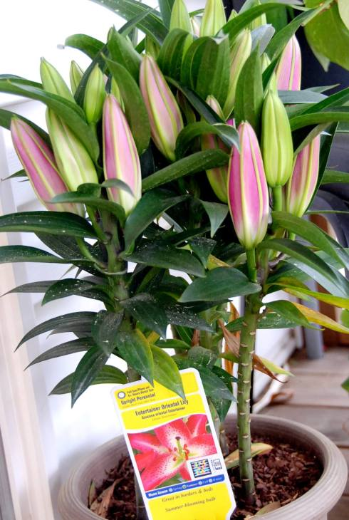 A gorgeous Lilly plant from Jason-Can't wait until the blooms open!