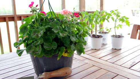 An impatiens hanging basket and tomato plants from my friend Lauren